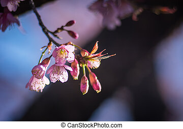 Image Of Wild Himalayan Cherry Flower In Nature