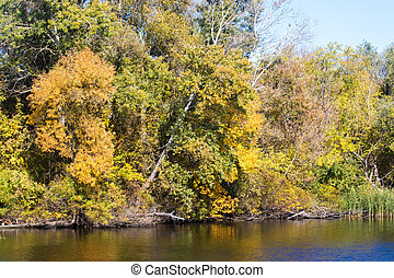yellow trees in autumn by the river