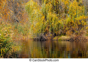 yellowed willow on the bank of a dark river in autumn