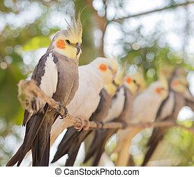 image, papegøjer