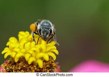 image, pollen., insecte, animal, abeille