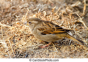 wild animal bird sparrow on the ground looking for food