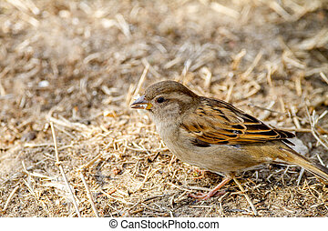 animal bird sparrow on the ground looking for food