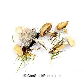 imagem, de, um, cogumelos, e, algum, capim, lâminas, branco