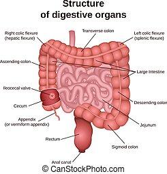 imagem, digestivo, intestino, área