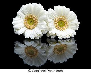 imagem, dois, isolado, experiência preta, espelho, flores brancas