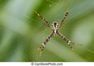 imagen, de, multicolor, argiope, araña, (argiope, pulchellla., ), en, el, net., insecto, animal