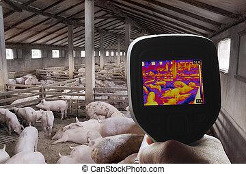 imagen térmica, de, granja del cerdo