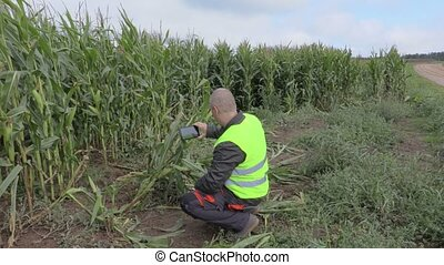 images, maïs, paysan, prendre, champ
