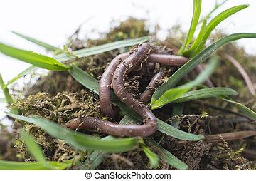 imaginado, vermes, solo, stidio, terra