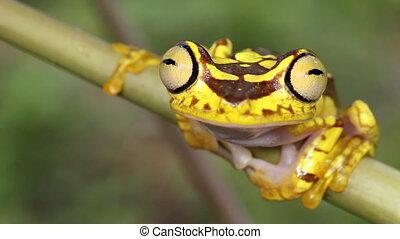 Imbabura Treefrog - Hypsiboas picturatus, An inhabitant of...