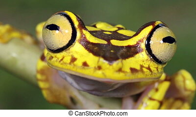 Imbabura Treefrog - Hypsiboas picturatus, In rainforest in...