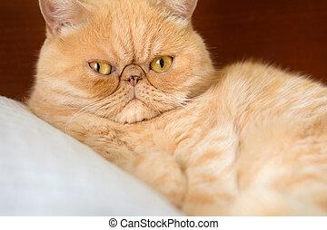 Pers Rudy Kot Pers Tło Szary Rudy Kot