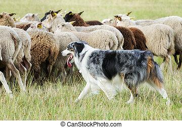 imbrancandosi pecora, cane collie, gregge, bordo