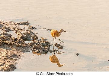 Immature African jacana at a waterhole in Northern Namibia