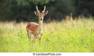 Immature fallow deer stag standing on meadow in summer.