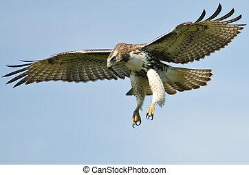 immature, faucon rouge tailed, voler, dans, a, ciel bleu
