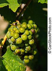 Immature grapes