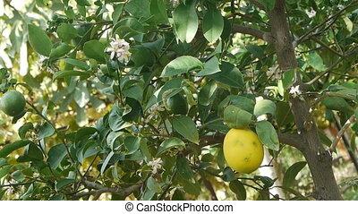 Immature lemon. - Lovely green unripe fruit flower (lemon).