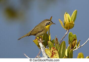 Immature Male Common Yellowthroat - Merritt Island, Florida