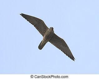 Peregrine Falcon - Immature Peregrine Falcon in migration
