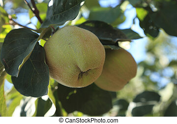 Two immature quinces (Cydonia oblonga) in a tree.