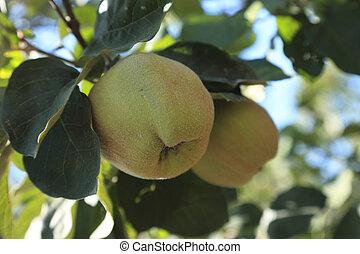 Immature quinces (Cydonia oblonga) - Two immature quinces (...