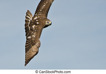 Immature Red Tailed Hawk Flying In a Blue Sky
