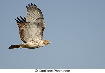 Immature Red-Tailed Hawk Flying in Blue Sky