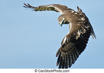 Immature Red Tailed Hawk on the Hunt