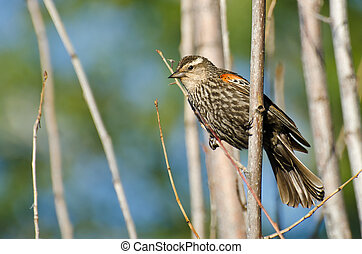 Immature Red-Winged Blackbird Perched in a Tree