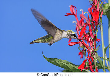 Immature Ruby-throated Hummingbird (archilochus colubris) in flight with red Cardinal flowers and a blue sky background