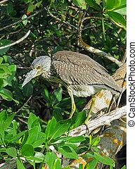 Immature Yellow-crowned night heron Ding Darling Wildlife...
