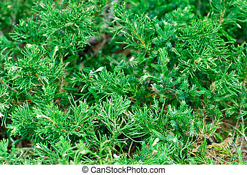 "immergrün, juniperus, sabina, ""variegata"", cossack, natur,..."