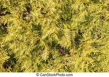 immergrün, zapfentragend, cupressaceae., natürlich, familie,...