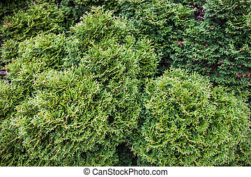 immergrün, zweige, wacholder
