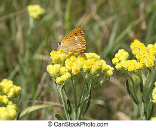 Helichrysum arenarium - Immortelle - Helichrysum arenarium...