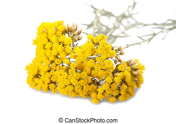 Helychrysum - Immortelle (Helychrysum) isolated on white ...