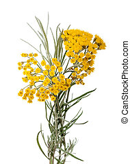 Helychrysum - Immortelle (Helychrysum) isolated on white...