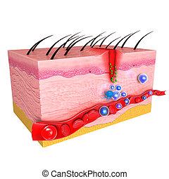 Immune response system of skin - 3d rendered illustration of...