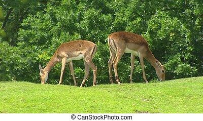 Impala 2 shot grazing in park