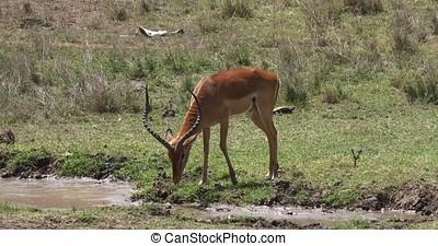 Impala, aepyceros melampus, Male drinking water, Masai Mara...