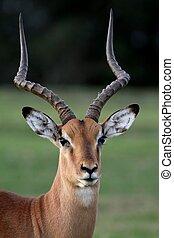 Impala Antelope Portrait - Beautiful male impala antelope...