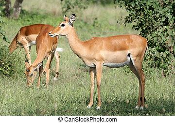Impala Antelope - Serengeti, Tanzania, Africa - Impala -...