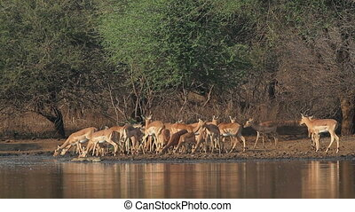 Impala antelopes drinking - A large herd of Impala antelopes...