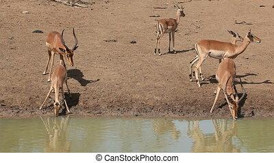 Impala antelopes (Aepyceros melampus) drinking water, Mkuze game reserve, South Africa