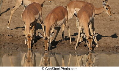 Impala antelopes drinking