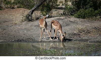 Two Impala antelopes (Aepyceros melampus) drinking water at a waterhole, Sabie-Sand nature reserve, South Africa
