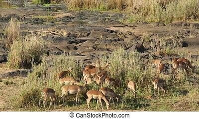 A herd of impala antelopes (Aepyceros melampus) feeding, Kruger National Park, South Africa