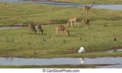 A herd of impala antelopes (Aepyceros melampus) grazing, Kruger National Park, South Africa